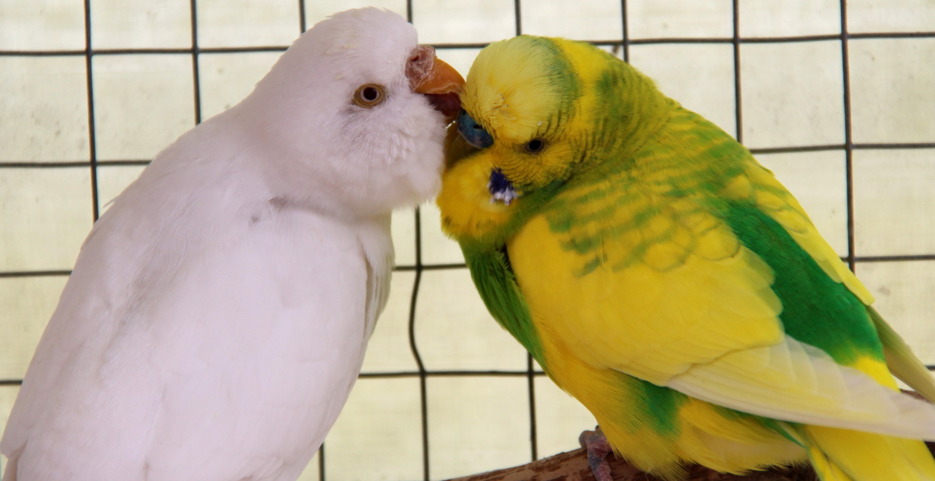 Quelle est la période de reproduction des perruches ?