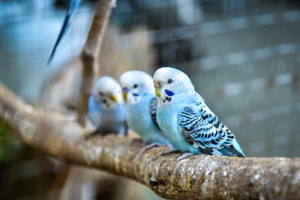 Quelle taille de cage pour 2 perruches?