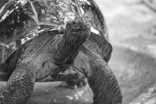 Les tortues de terre craignent-elles la pluie?