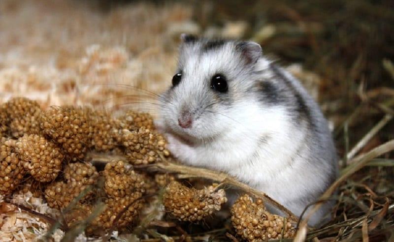 Que mange un Hamster tout sur son alimentation