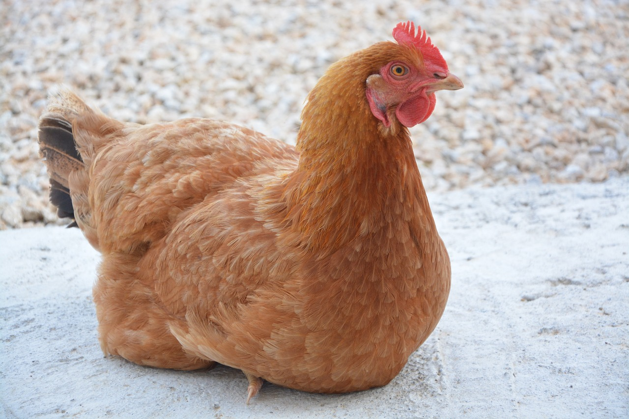 Quelles sont les meilleures poules pondeuses ?