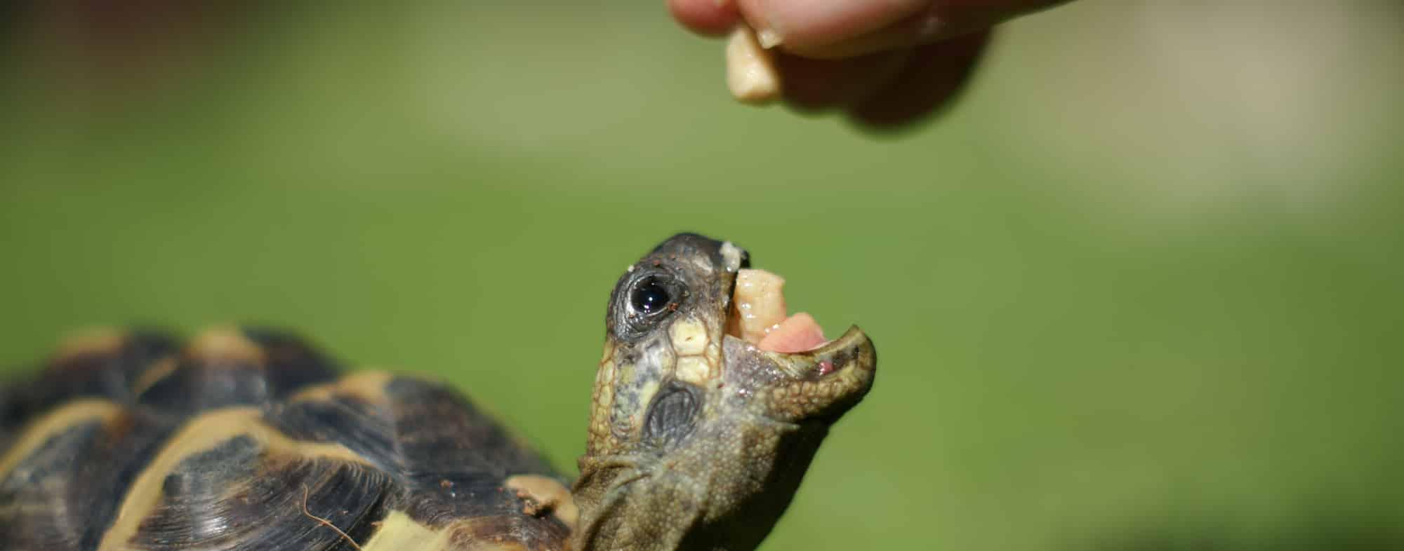 Quelle est la nourriture de la tortue?