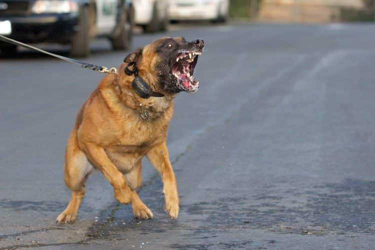 Quelle est la race de chien la plus dangereuse dans le monde?