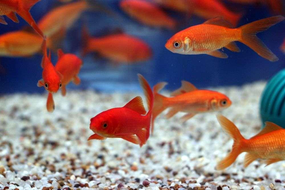 Quel poisson pour aquarium 35l ?