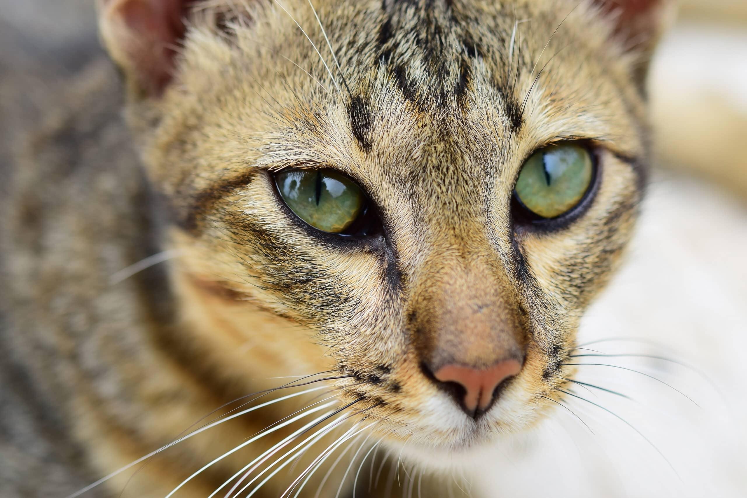 Qu'est-ce qui donne les vers au chat?