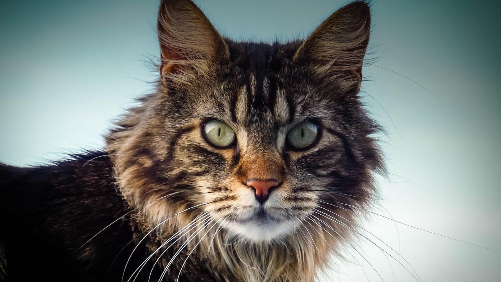 Trois races de chat très recherchées