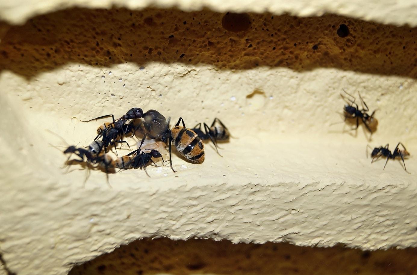 Comment débuter dans l'élevage de fourmis ?
