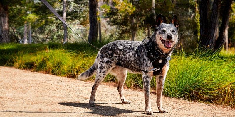 Quel genre de harnais pour chien?