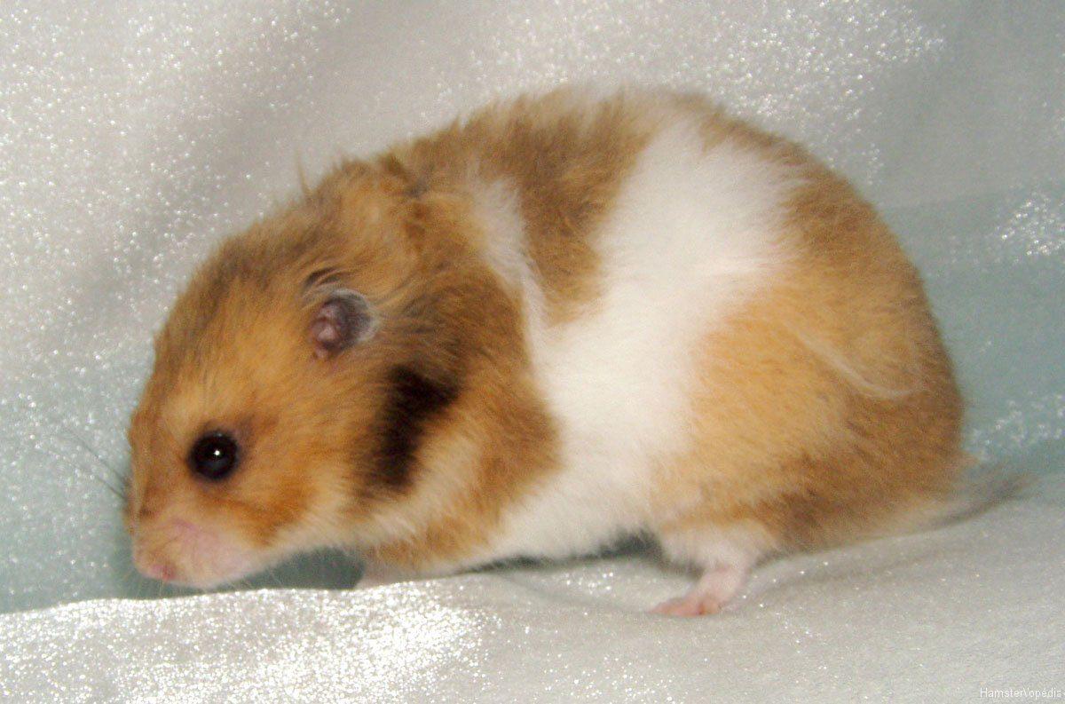 Comment adopter et élever un hamster doré ?